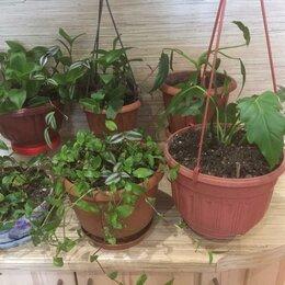 Комнатные растения - КОМНАТНЫЕ ЦВЕТЫ-ТРАДЕСКАНЦИЯ ПРИРЕЧНАЯ ,АУРЕЯ В ГОРШКАХ, 0