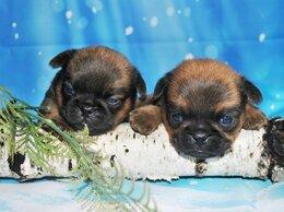 Собаки - Щенки пти брабансона, 0