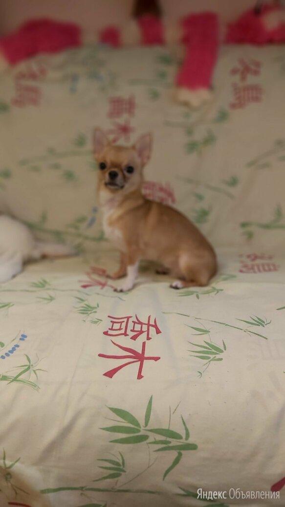 Девочка чихуахуа по цене 7500₽ - Собаки, фото 0