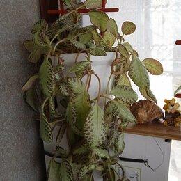 Комнатные растения - Эписция, 0