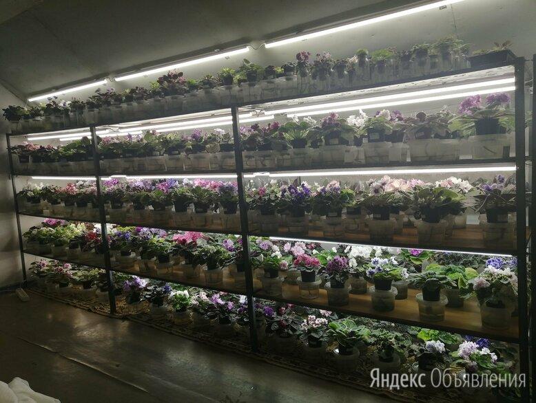 ✨ФИАЛКИ ✨ по цене 50₽ - Комнатные растения, фото 0