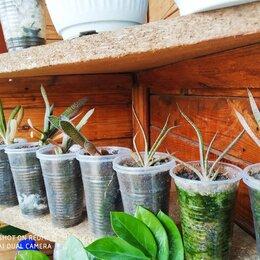 Комнатные растения - гастерия дернистая, 0