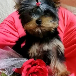 Собаки - Йоркширский терьер, супер минички, 0