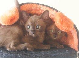 Кошки - Чистокровная Бурма, 0