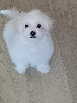 Собаки - Мальтезе-мальтийская болонка, 0