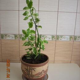 Комнатные растения - Педилантус- оригинальное растение для дома., 0