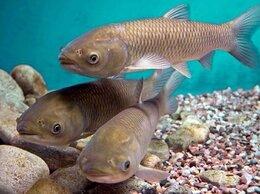 Аквариумные рыбки - Малёк белого Амура толстолобика карпа, 0