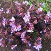 Герань садовая. по цене 100150₽ - Рассада, саженцы, кустарники, деревья, фото 5