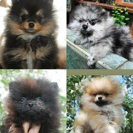 Собаки - Продаются щенки шпица, 0