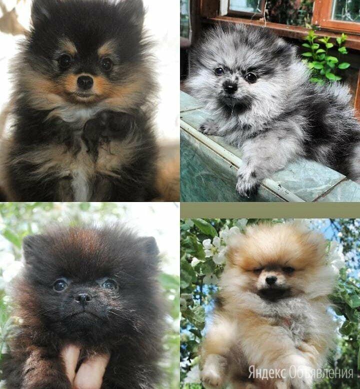 Продаются щенки шпица по цене 35000₽ - Собаки, фото 0