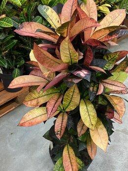 Комнатные растения - Кротон Кодиеум Миссис Айстон Н 95 см, 0