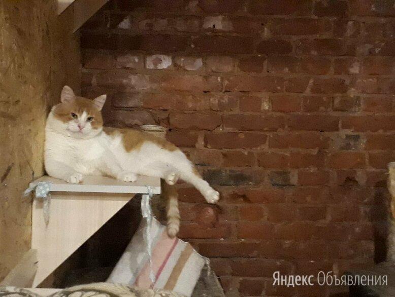 Очень ласковый толстячок Атилла по цене даром - Кошки, фото 0