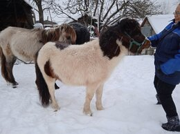 Лошади - Продается пони жеребец, 0