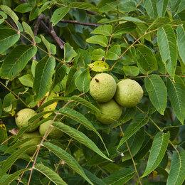 Рассада, саженцы, кустарники, деревья - Маньчжурский орех, 0