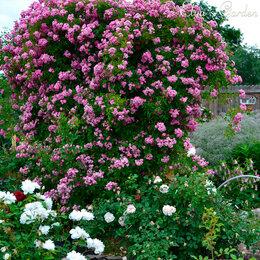 Рассада, саженцы, кустарники, деревья - Саженцы плетистой розы Вартбург, корнесобственные, ЗКС, бесплатная доставка , 0