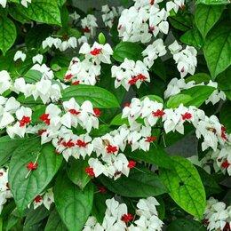 Комнатные растения - Клеродендрум-дерево судьбы. , 0