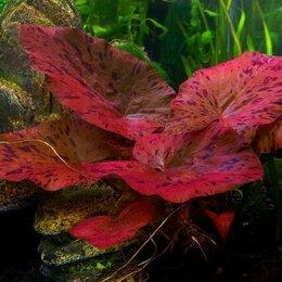 Растения для аквариумов и террариумов - Нимфея (кувшинка) Тигровая Красная живое растение для аквариума или пруда, 0