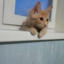 Кошки - Котята породы курильский бобтейл, 0