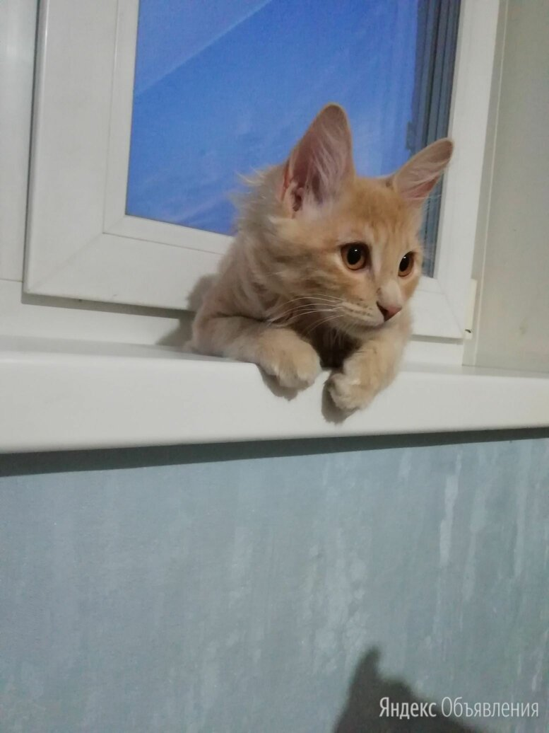 Котята породы курильский бобтейл по цене 7000₽ - Кошки, фото 0