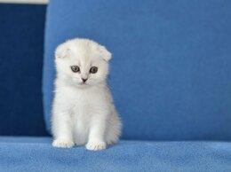 Кошки - Продаются шотландские котята, 0