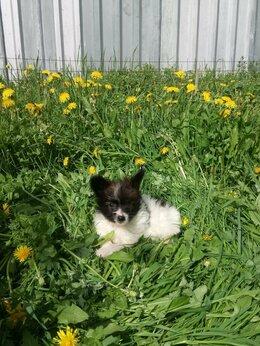 Собаки - Папийон, мальчик, 0