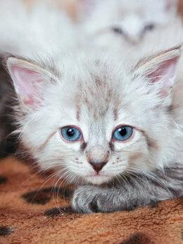 Кошки - Бирюлька – котенок с дачного участка, 0