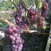 Саженцы винограда Северо - Западного региона по цене 200₽ - Рассада, саженцы, кустарники, деревья, фото 1