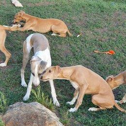 Собаки - Собака щенки уиппета, 0