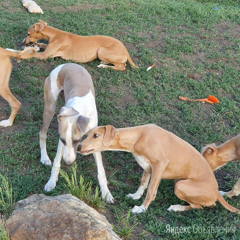 Собака щенки уиппета по цене 50000₽ - Собаки, фото 0