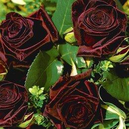 Луковичные растения - роза черная королева и др. сорта, 0