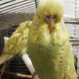 Птицы - Волнистые попугайчики , 0