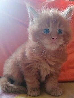 Кошки - Мейн-кун , 0