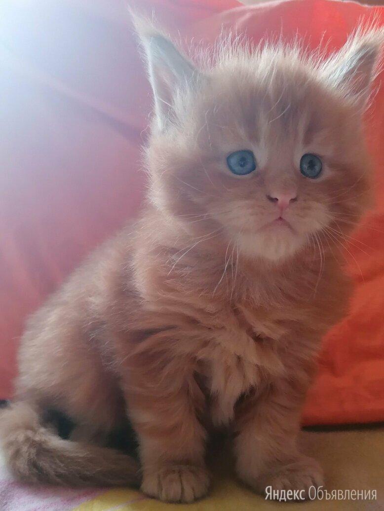 Мейн-кун  по цене 35000₽ - Кошки, фото 0