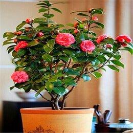Рассада, саженцы, кустарники, деревья - Саженцы комнатных роз, 0