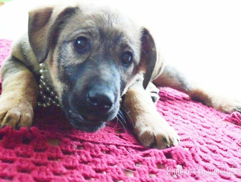 Ласковая, трепетная, Любвеобильная, Щенуля , ищет Добрую Семью по цене даром - Собаки, фото 0