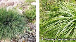 Семена - Продам семена овсяница тростниковидная - сорт…, 0