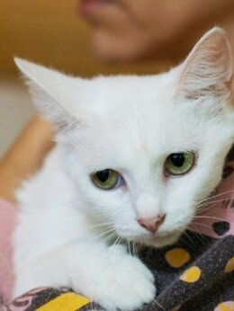 Кошки - Очаровательная беляночка Сага в поисках дома, 0