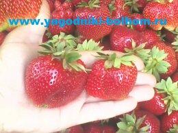 Рассада, саженцы, кустарники, деревья - Продаем рассаду клубники (земляники садовой)…, 0