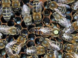 Сельскохозяйственные животные - Пчеломатка матка Carnica Troiseck Celle, 0