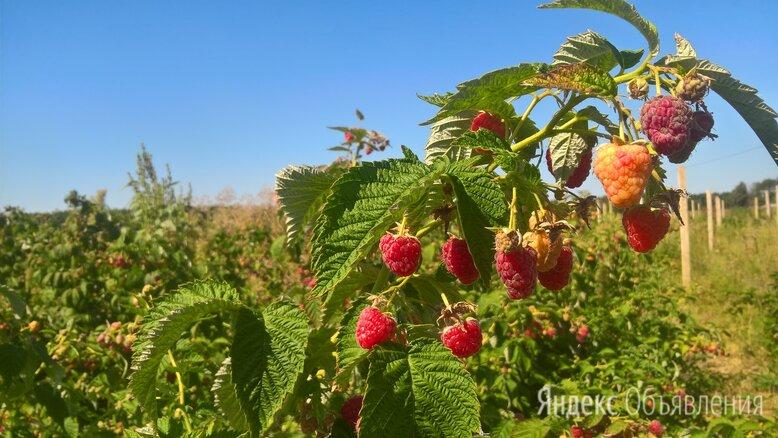 Клубника / малина / ежевика саженцы по цене 15₽ - Рассада, саженцы, кустарники, деревья, фото 0