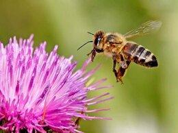 Сельскохозяйственные животные - Пчелы продажа, 0