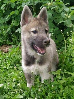 Собаки - Щенок западно-сибирской лайки, 0