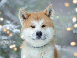 Собаки - Молодая Акиту Ину Коичи в дар, 0