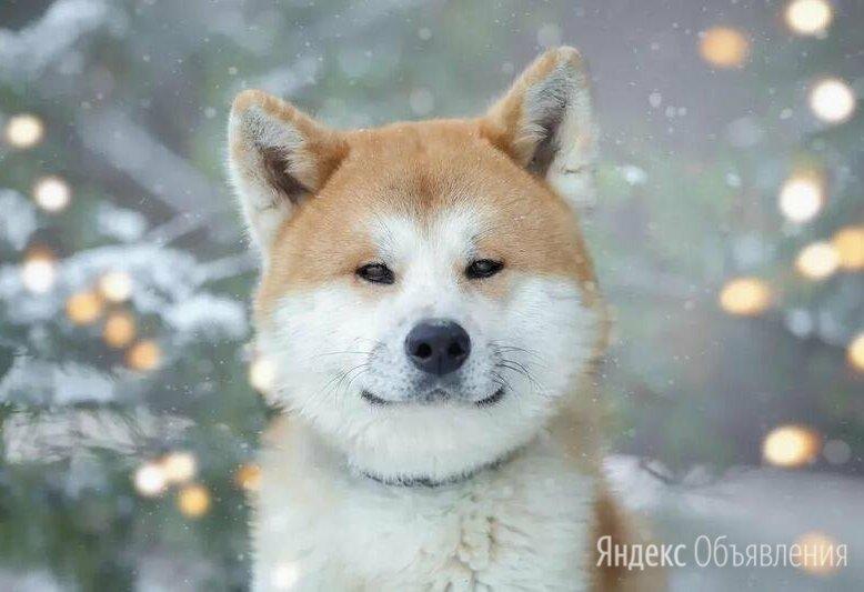 Молодая Акиту Ину Коичи в дар по цене даром - Собаки, фото 0
