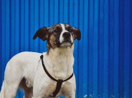 Собаки - Метис пойнтера ищет дом. Собака в добрые руки.…, 0