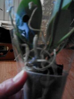Комнатные растения - Продам орхидея фаленопсис, 0