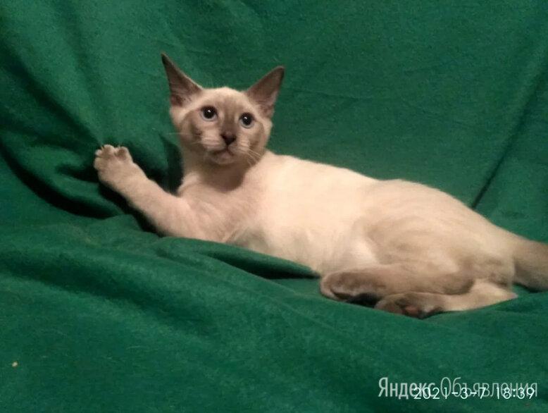 Чудесный котик Марсель, метис сиамского по цене 100₽ - Кошки, фото 0