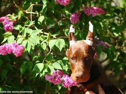 Собаки - Щенок добермана, 0