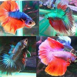 Аквариумные рыбки - Аквариумные рыбки петушки и курочки, 0
