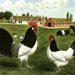 Птицы - Лакенфельдер - куры из Германии, 0
